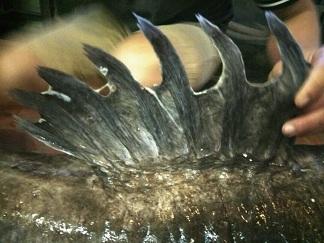 """""""Thủy quái"""" sông Mê Kông nặng 112kg xuất hiện ở Hà Nội - 4"""