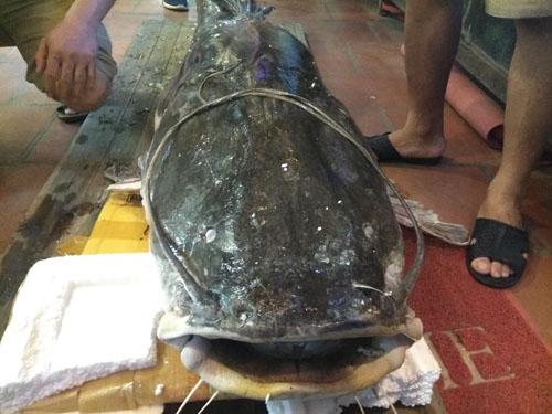 """""""Thủy quái"""" sông Mê Kông nặng 112kg xuất hiện ở Hà Nội - 5"""