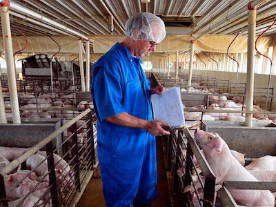 Heo nội rớt giá kỷ lục trong khi thị trường thịt lợn toàn cầu ổn định