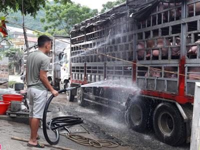 Tiểu thương thuê người gánh heo bán tiểu ngạch qua Trung Quốc
