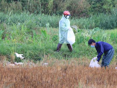 Bùng phát dịch cúm gia cầm H5N1 với số lượng lớn