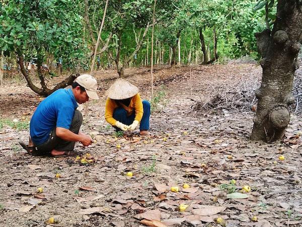 Cây tỷ đô rụng quả hàng loạt: Nông dân mất hàng trăm triệu đồng