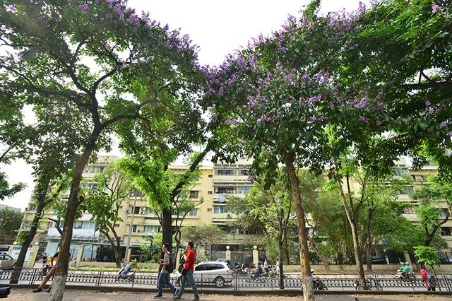 Những cây bằng lăng đẹp nhất Hà Nội nằm trên phố Kim Mã