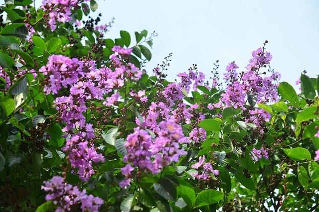 Sắc tím xen lẫn vào màu xanh biếc của lá và xanh dịu của nền trời.