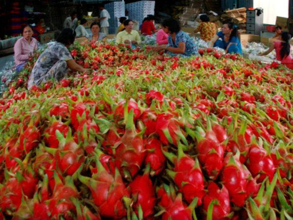 Vì sao giá thanh long Việt Nam tại Dubai rớt thảm?