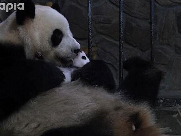 Clip gấu trúc mẹ cào tường vườn thú đòi con gây xúc động