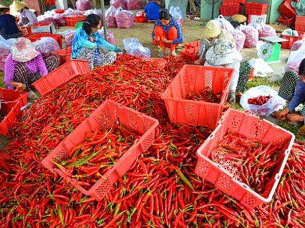 Bình Định: Tận cùng nỗi xót xa khi giá ớt chỉ còn 2.000 đồng/kg