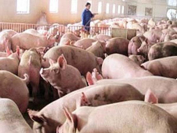 """200.000 tấn thịt lợn đã được """"giải cứu"""""""