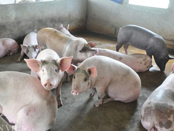 Khủng hoảng lợn