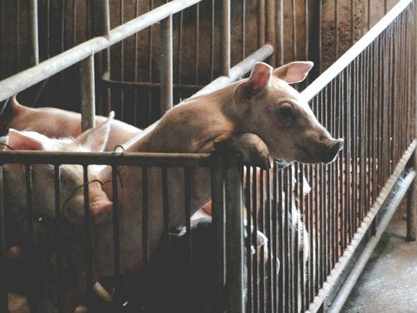 Những con lợn đói ở trung tâm nuôi lợn lớn nhất miền Bắc