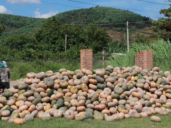 Bán 100 kg bí đỏ mới mua được tô phở, nông dân Đắk Lắk chờ