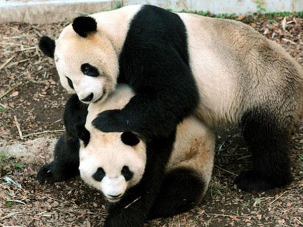 Cả nước Nhật sốt xình xịch vì 1 con gấu trúc đẻ, giá trị nền kinh tế bỗng dưng tăng 5,5 nghìn tỷ đồng chỉ trong 1 ngày