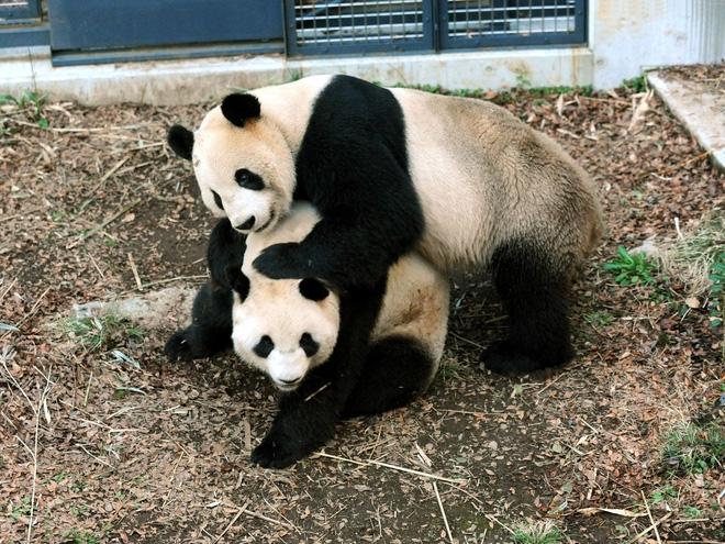 Cả nước Nhật sốt xình xịch vì 1 con gấu trúc đẻ, giá trị nền kinh tế bỗng dưng tăng 5,5 nghìn tỷ đồng chỉ trong 1 ngày - 2