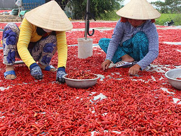 Giá ớt miền Tây giảm 10 lần, thương lái vẫn