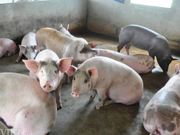 Lợn hơi