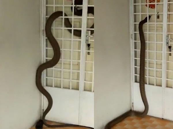 Khoảnh khắc thót tim khi thấy rắn hổ mang