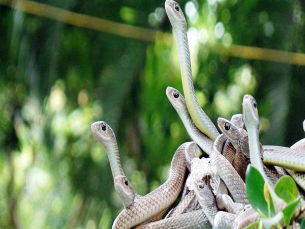 Rùng mình hàng trăm con rắn lúc nhúc trên cây ở trại mãng xà lớn nhất Việt Nam