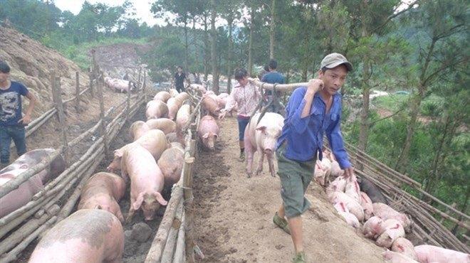 Giá thịt lợn, giải cứu thịt lợn, xuất khẩu thịt lợn, xuất khẩu thịt lợn sang Trung Quốc
