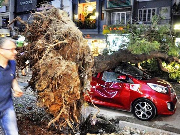 Cây xanh liên tục bật gốc ở Sài Gòn: Lỗi tại