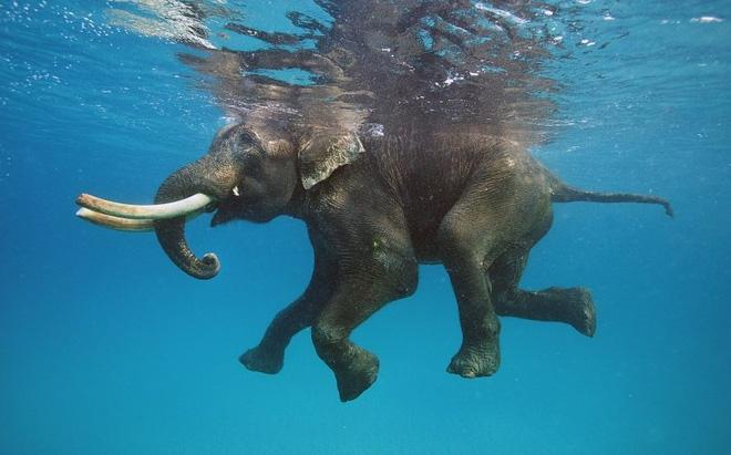 Chuyện hy hữu: Bị trôi lạc ra biển 15km, chú voi rừng may mắn được hải quân cứu sống - Ảnh 3.