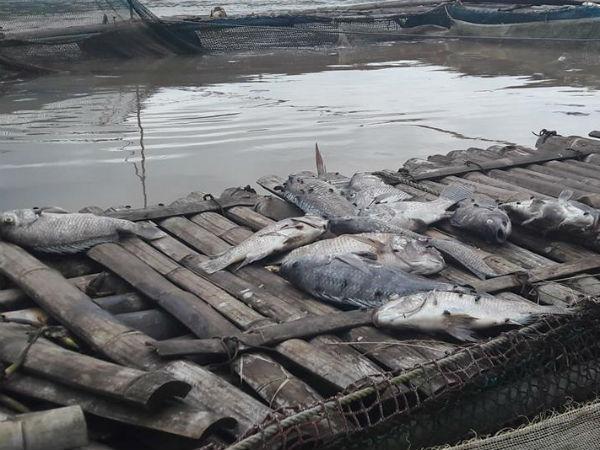 Cá chết trắng lồng do thủy điện Hòa Bình xả lũ: Dân khóc như mưa