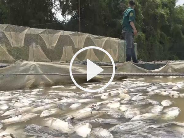 Clip: Người dân thu gom cả 100 tấn cá chết khi thủy điện Hòa Bình xả lũ