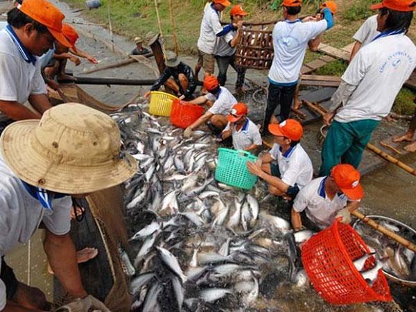 Cá da trơn Việt Nam nguy cơ bị chặn lối hoàn toàn vào Mỹ