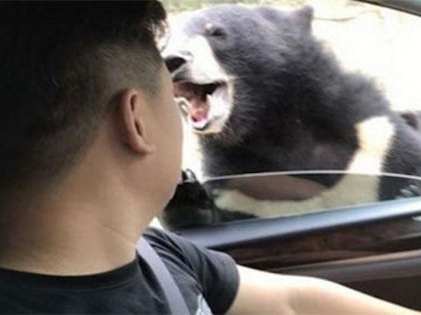 Du khách Trung Quốc bị cắn khi cố tình cho gấu ăn
