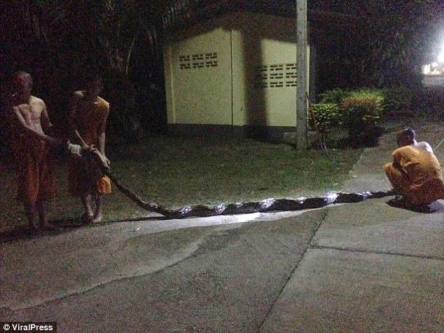 Trăn khổng lồ 8m đớp chân, siết chặt bà cụ Thái Lan - 1