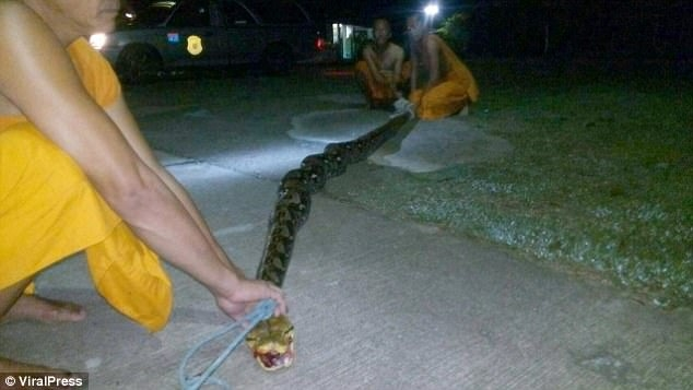 Trăn khổng lồ 8m đớp chân, siết chặt bà cụ Thái Lan - 3