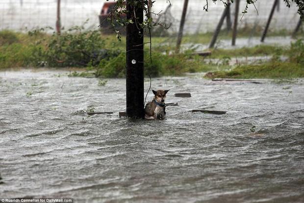 Hình ảnh những chú chó bơ vơ, ngập giữa dòng nước lớn trong trận bão mạnh nhất thập kỷ ở Mỹ khiến nhiều người động lòng - Ảnh 1.