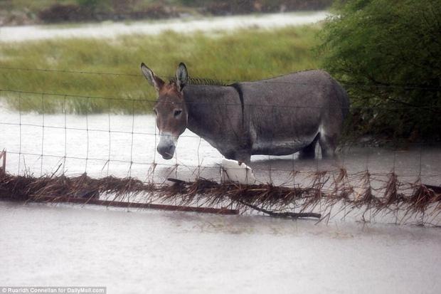 Hình ảnh những chú chó bơ vơ, ngập giữa dòng nước lớn trong trận bão mạnh nhất thập kỷ ở Mỹ khiến nhiều người động lòng - Ảnh 4.