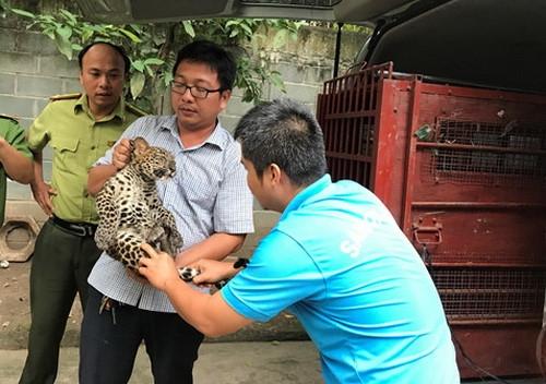 Vườn thú ở Củ Chi nuôi nhốt trái phép 3 con báo - ảnh 2