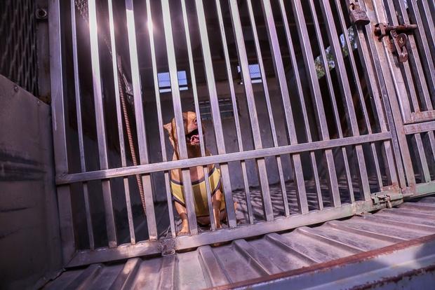 """Clip: Tiếp tục ra quân bắt chó thả rông ở Sài Gòn, nhiều chó nhà bị Đội săn bắt """"tóm"""" khiến chủ ngơ ngác - Ảnh 6."""