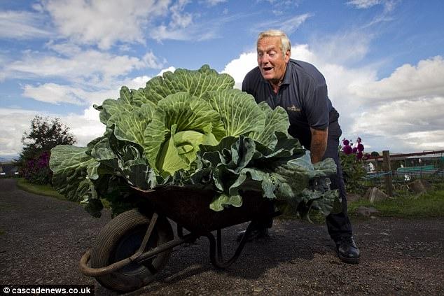 Tự nhiên trồng được bắp cải khổng lồ gấp 50 lần bình thường - 3