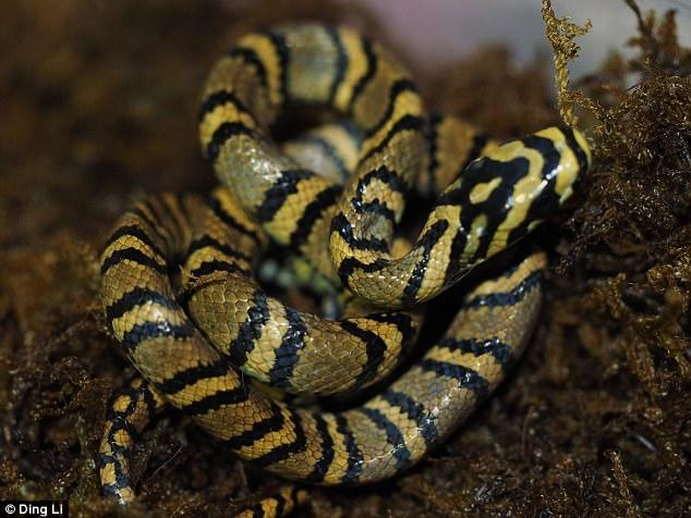 Ngắm loài rắn viền ngọc trai hiếm và đẹp nhất thế giới - 1