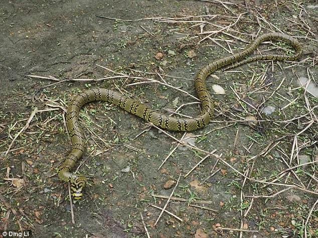 Ngắm loài rắn viền ngọc trai hiếm và đẹp nhất thế giới - 2