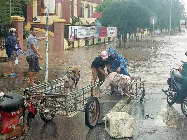 Người dân di dời vật nuôi ra khỏi nơi bị ngập lụt. (ảnh: Phạm Tùng)