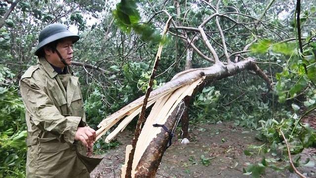 Nhiều diện tích cây cao su bị gãy đổ tại huyện Vĩnh Linh