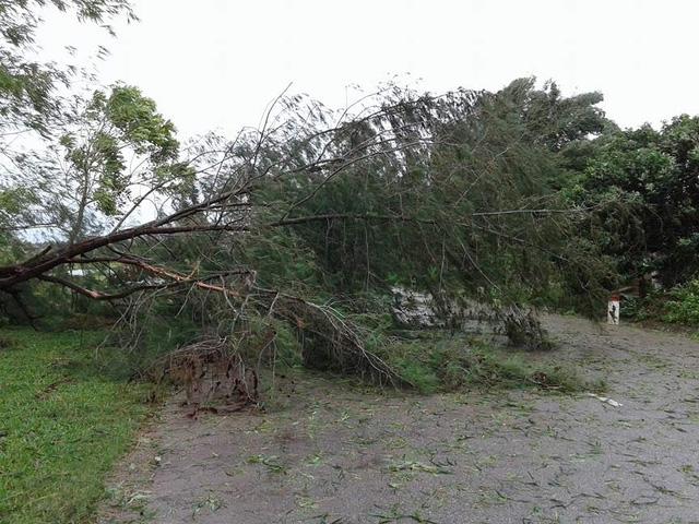 Cây phi lao lớn bị bật gốc chắn ngang đường dẫn về thị trấn Cửa Tùng