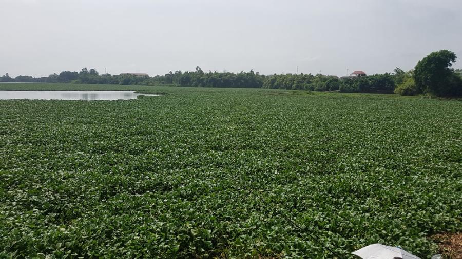 vớt bèo, hồ Đầm Vạc, Vĩnh Phúc