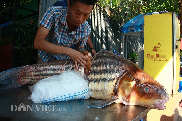 Đại diện của một nhà hàng trên đường Cầu Giấy, Hà Nội - nơi cá sọc dưa khủng lồ vừa đặt chân tới Thủ đô ngồi bàn tiệc cho biết, đây là hai con cá sọc dưa được ngư dân Campuchia ở Biển Hồ đánh bắt rồi bán cho nhà hàng.