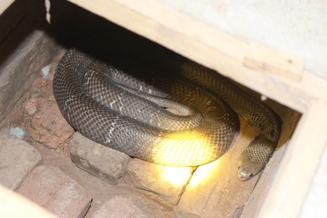 """""""Vài năm gần đây, số lượng rắn tự nhiên sụt giảm, một số loại bị cấm săn bắt nên số người đi bắt rắn cũng không còn nhiều. Những người thức thời đều chuyển sang kinh doanh nhà hàng, ăn nên làm ra lắm. Tính sơ sơ, con phố Lệ Mật cũng có đến chục người giàu lên nhanh chóng nhờ rắn. Không thành đại gia, tỷ phú thì cũng đủ có cuộc sống sung túc. Như tôi, từ đầu những năm 1990 nhờ chiết xuất nọc rắn mà cũng đủ mang về cả bao tải tiền"""", ông Pháo tâm sự."""