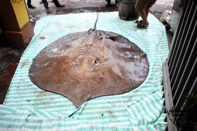Con cá đuối nặng tới 216kg, dài 3,2m, rộng 1,9m.