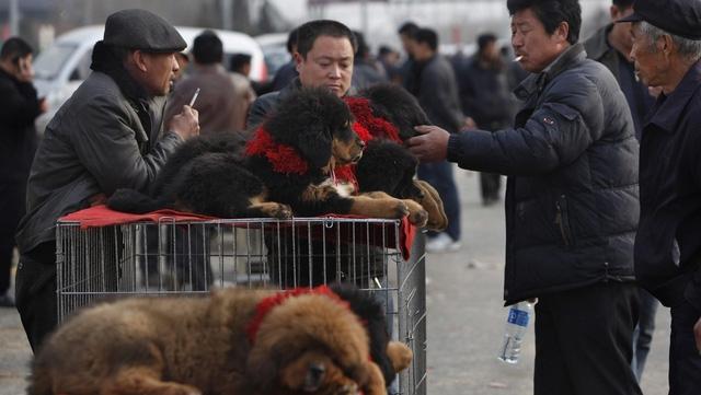 Kinh hoàng với bầy chó ngao Tây Tạng thả rông ở Trung Quốc - Ảnh 4.