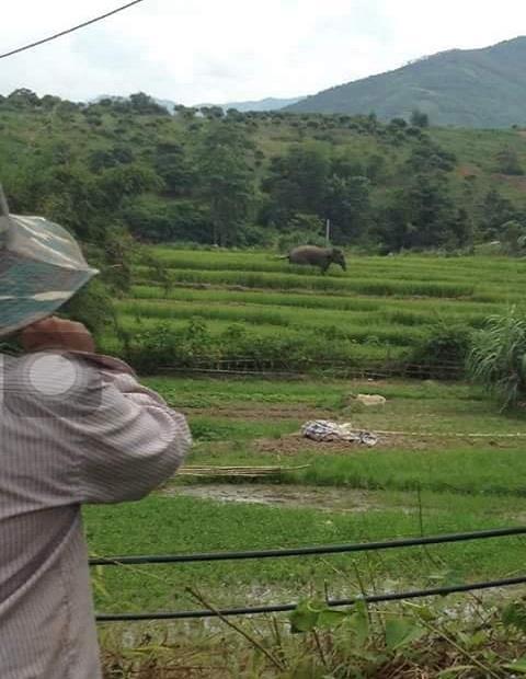 Sơn La: Người dân hốt hoảng vì voi rừng tắm ở ao cá, ngủ tại chuồng bò - Ảnh 1.
