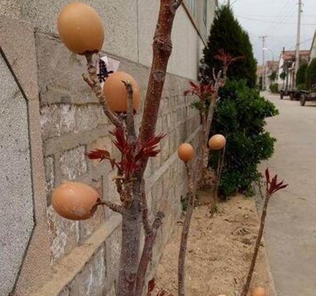 Ai cũng ngạc nhiên khi thấy cây nở ra trứng gà nhưng sự thật còn bất ngờ hơn nữa - Ảnh 3.