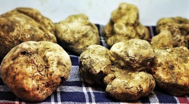 Nấm truffle trắng là một trong những thực phẩm đắt đỏ nhất thế giới