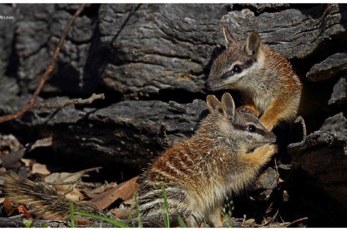 Australia chien dau voi meo hoang de bao ve cac loai thu hinh anh 5