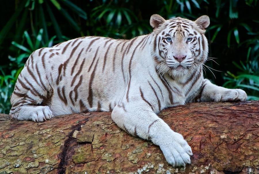 Hổ trắng quý hiếm vồ chết nhân viêm vườn quốc gia - Ảnh 1.
